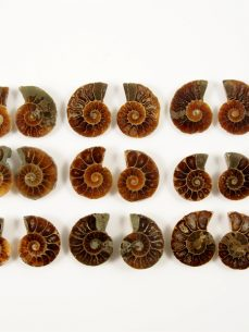 Ammonit geschnitten 2 cm Durchmesser Madagaskar