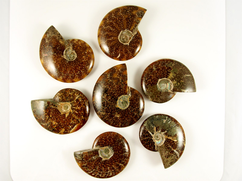 Ammonit Cleoniceras, Mahajanga Madagaskar Fossilien